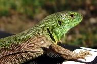 敏捷的蜥蜴图片(14张)