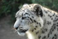 优雅矫健的雪豹图片(15张)