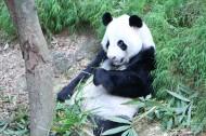 国宝大熊猫图片(13张)