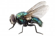 苍蝇图片(12张)