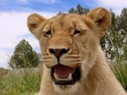 母狮子图片(18张)
