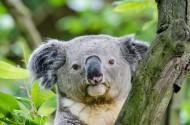体态憨厚的树袋熊图片(15张)
