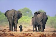 温馨大象家庭图片(24张)
