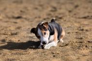 比格犬图片(13张)