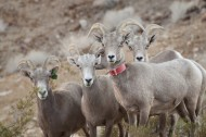 奇异的混血动物之山绵羊图片(14张)