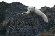 憨厚可掬的北极熊图片(11张)