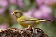 身着金黄色块斑的金翅雀图片(15张)