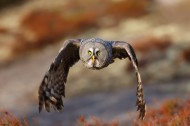 猫头鹰图片(8张)