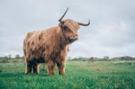 草原上的牦牛图片(8张)