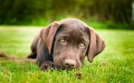 黑色拉布拉多犬图片(9张)
