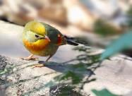 相思鸟图片(11张)