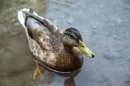 水中的鸭子图片(17张)