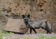 银黑狐图片(6张)