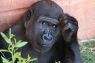 呆萌的大猩猩图片(11张)