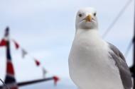 """海上航行的""""预报员""""海鸥图片(14张)"""