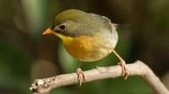 红嘴相思鸟图片(9张)