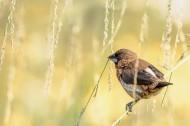 白腰文鸟图片(6张)