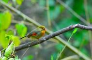 红嘴相思鸟图片(5张)
