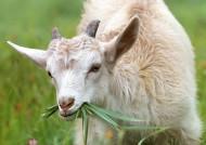 温驯可爱的山羊图片(11张)