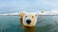 憨态可掬的北极熊图片(14张)