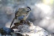 中型鸟类之眼纹噪鹛图片(15张)