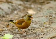 金翅雀图片(10张)