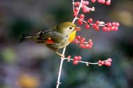 红嘴相思鸟图片(7张)