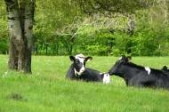 产牛奶的奶牛图片(10张)