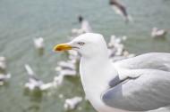 海鸥图片(16张)