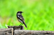 黑喉石鵖鸟类图片(6张)