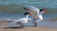 红嘴巨鸥图片(8张)
