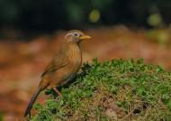 画眉鸟图片(11张)