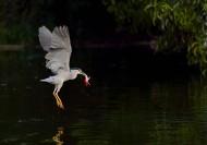夜鹭图片(7张)