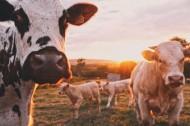 草地上的可爱奶牛图片(8张)