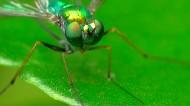 食虫虻昆虫图片(9张)
