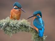 休憩的翠鸟图片(15张)