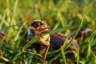 害虫之棕色鳃金龟图片(15张)