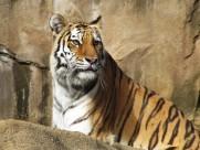 威猛的老虎图片(26张)
