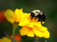 圆乎乎的熊蜂图片(15张)