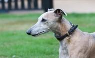 惠比特犬图片(18张)