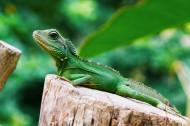 绿色的蜥蜴图片(9张)