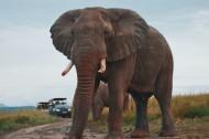 有象牙的大象图片(14张)
