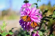 停歇在花朵上的蝴蝶图片(7张)