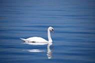 优雅的白天鹅图片(10张)