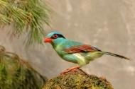 印支绿鹊图片(6张)