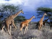 长颈鹿图片(22张)
