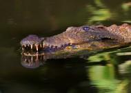 凶狠的鳄鱼图片(18张)