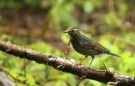 白眉歌鸫鸟类图片(7张)
