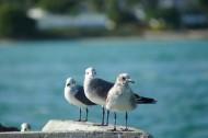 海鸥图片(12张)