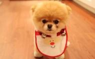 博美犬图片(5张)